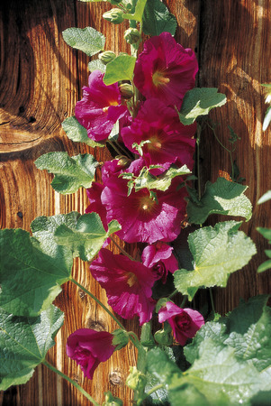 common hollyhock (Alcea rosea) in front of wooden wall