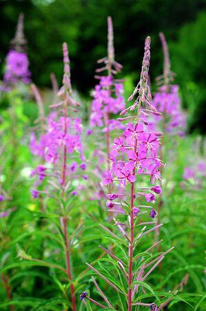 angustifolium: Fireweed (Epilobium angustifolium) in garden