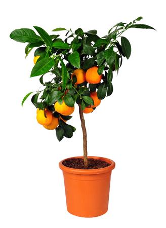 tropica: citrus standard tree Lima rossa (Citrus aurantifolia)