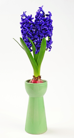 spring hyacinth in hyacinth glass isolated over white background 版權商用圖片