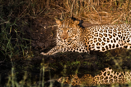 sabi: Leopard at night in the spotlight in the Sabi Sands, South Africa. Stock Photo