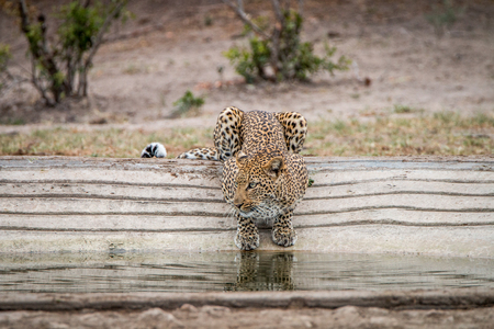 Leopard at a waterhole in the Kruger National Park, South Africa.