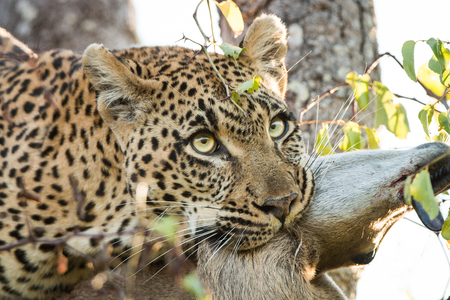 sabi sands: Leopard in a tree with a Duiker kill in the Sabi Sands, South Africa. Stock Photo