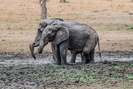 big 5: Two Elephants taking a mud bath in the Kruger National Park, South Africa.