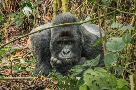 starring: Starring Silverback in the Virunga National Park, Democratic Republic Of Congo.