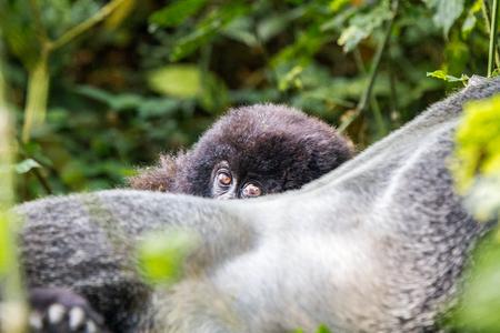 silverback: Baby Mountain gorilla hiding behind a Silverback in the Virunga National Park, Democratic Republic Of Congo. Stock Photo