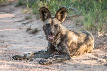 lycaon pictus: African wild dog laying in the road in the Kruger National Park, South Africa.