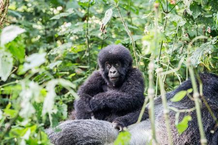 silverback: Baby Mountain gorilla on a Silverback in the Virunga National Park, Democratic Republic Of Congo.