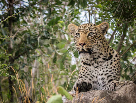 sabi sands: Leopard on a termite mount in the Sabi Sands, South Africa. Stock Photo