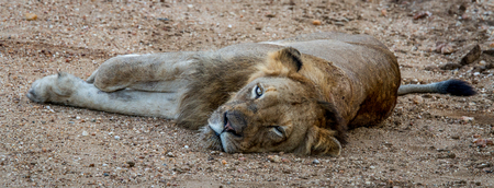 big 5: Laying Lion in the Kapama Game Reserve, South Africa.