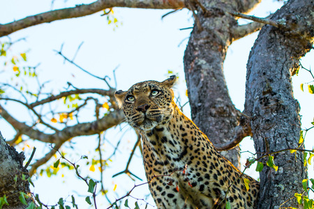 sabi sands: Leopard in a tree in the Sabi Sands, South Africa. Stock Photo
