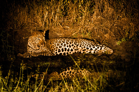 sabi sands: Leopard at night in the spotlight in the Sabi Sands, South Africa. Stock Photo