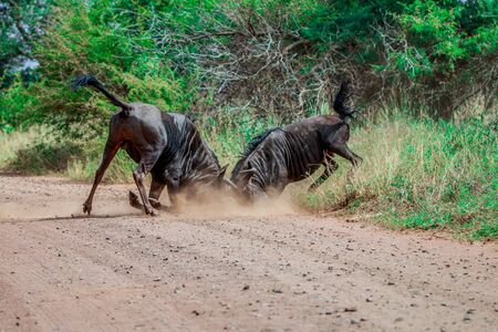 wildebeest: Fighting Blue wildebeest in the Kruger National Park, South Africa.