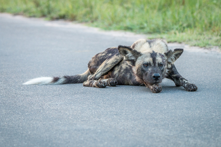 african wild dog: African wild dog laying on the road in the Kruger National Park, South Africa.