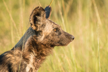 kruger: African wild dog in the golden light in the Kruger National Park, South Africa. Stock Photo