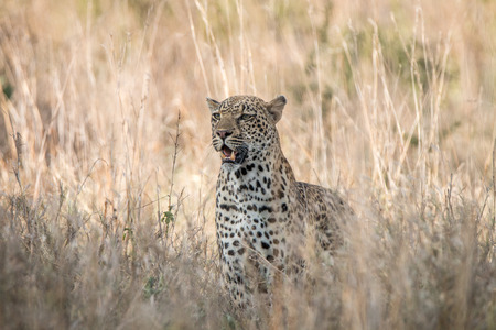 starring: Starring Leopard in the Kruger National Park, South Africa. Stock Photo