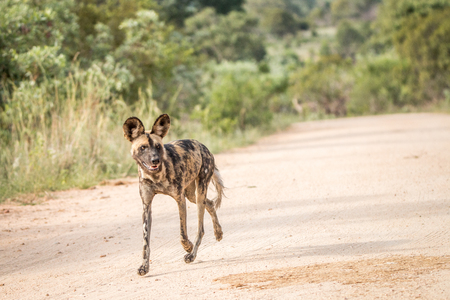african wild dog: Running African wild dog in the Kruger National Park, South Africa. Stock Photo