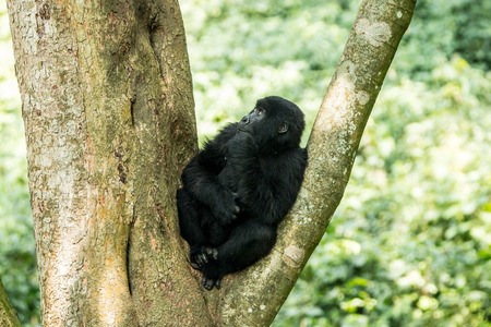 democratic: Mountain gorilla in a tree in the Virunga National Park, Democratic Republic Of Congo.