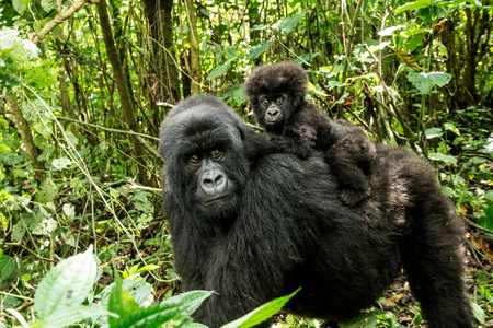 Mother Mountain gorilla with baby Gorilla in the Virunga National Park, Democratic Republic Of Congo. Stock Photo