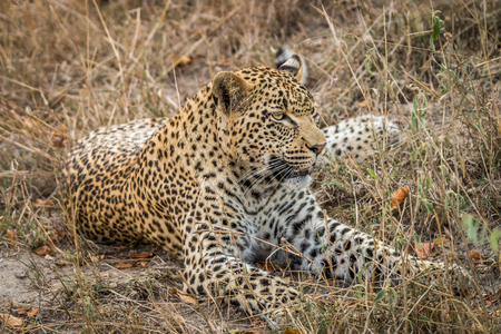 sabi: Leopard laying in the grass in the Sabi Sands, South Africa. Stock Photo