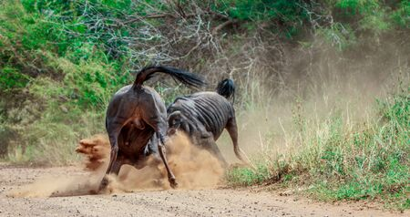 taurinus: Fighting Blue wildebeest in the Kruger National Park, South Africa.