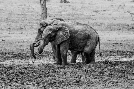 big 5: Two Elephants taking a mud bath in black and white in the Kruger National Park, South Africa.