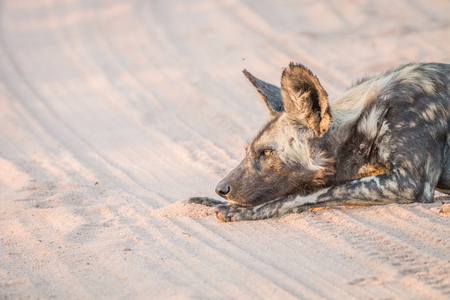 lycaon pictus: African wild dog laying in the sand in the Kruger National Park, South Africa.