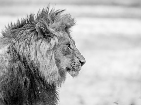 Side profile of a Lion in black and white in the Kruger National Park, South Africa.