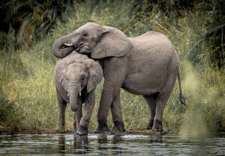 kruger: Drinking Elephants in the Kruger National Park, South Africa. Stock Photo