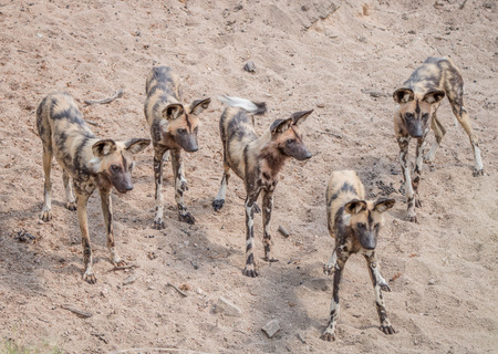 lycaon pictus: Pack of African wild dogs in the Kruger National Park, South Africa.