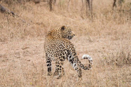 sabi: Leopard in the grass in the Sabi Sands, South Africa.