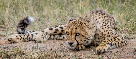 the game reserve: Laying Cheetah in the Selati Game Reserve, South Africa. Stock Photo