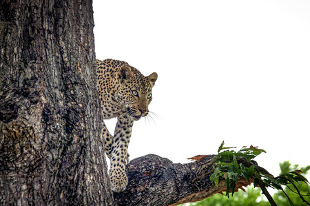 Leopard in a tree in the Makalali Game Reserve, South Africa. Stock Photo