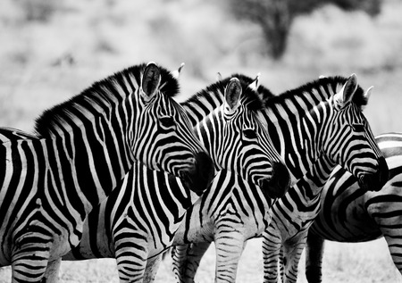 Zebras starring in black and white in the Kruger National Park, South Africa.