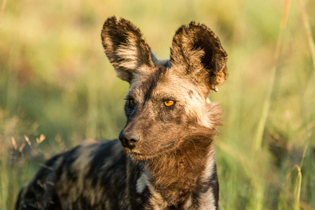 lycaon pictus: African wild dog starring in the Kruger National Park, South Africa.
