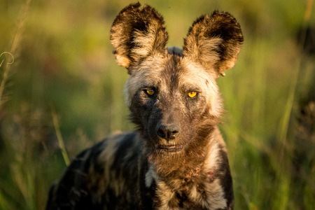 wild dog: African wild dog starring in the golden light in the Kruger National Park, South Africa.