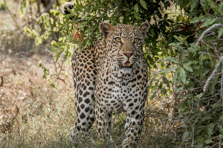 starring: Leopard starring in the Kruger National Park, South Africa.