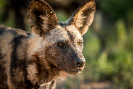 starring: African wild dog starring in the Kruger National Park, South Africa.