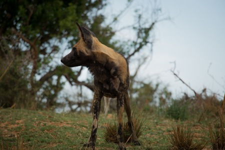 african wild dog: African wild dog listening in the Kruger National Park, South Africa. Stock Photo