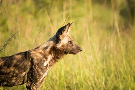 wild dog: Side profile of an African wild dog in the golden light in the Kruger National Park, South Africa. Stock Photo