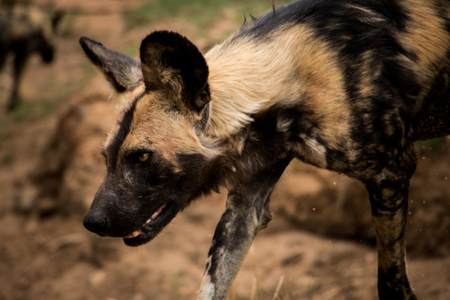 african wild dog: African wild dog in the Kruger National Park, South Africa,