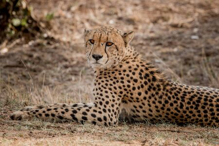 starring: Cheetah starring in the Kruger National Park, South Africa.