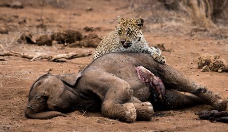 carcass: Luipaard voeden op een baby olifant karkas in het Kruger National Park, Zuid-Afrika.