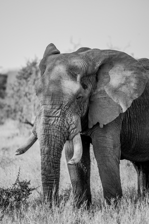 kruger: African Elephant in black and white in the Kruger National Park, South Africa. Stock Photo
