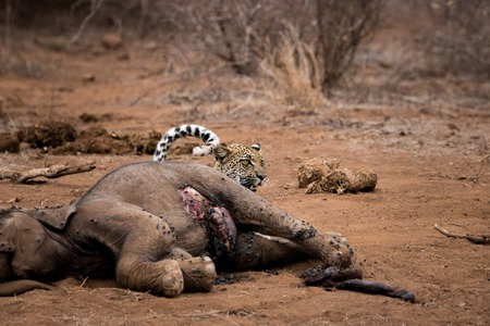 karkas: Leopard hiding behind a baby Elephant carcass in the Kruger National Park, South Africa.