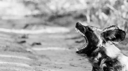 wild dog: Yawning African wild dog in black and white in the Kruger National Park, South Africa. Stock Photo