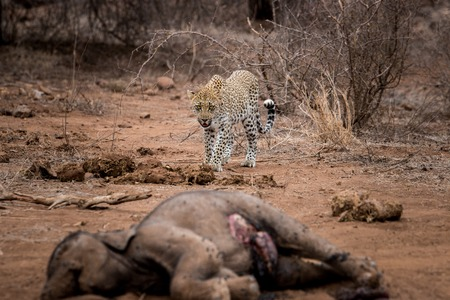 karkas: Leopard walking towards a baby Elephant carcass in the Kruger National Park, South Africa. Stockfoto