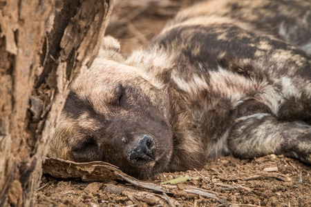 african wild dog: Sleeping African wild dog in the Kruger National Park, South Africa.
