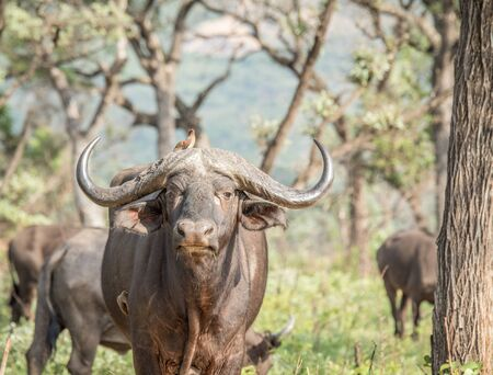big 5: Starring Buffalo in the Kruger National Park, South Africa.
