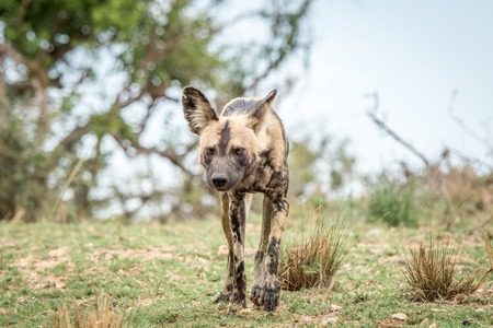 african wild dog: African wild dog walking towards the camera in the Kruger National Park, South Africa.